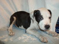Pretty American Bulldog Puppy for adoption