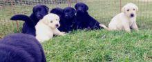 Lab/Shepherd Puppies