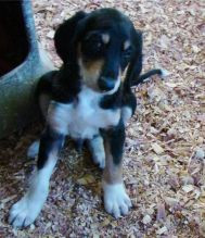 Adorable Saluki puppies For Sale.