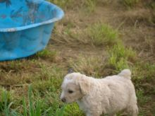 Purebred Spanish Water Dog puppies For Sale
