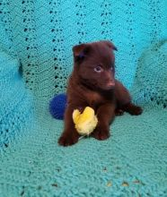 These Schipperke puppies are For Sale