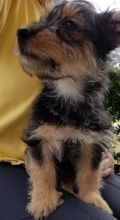 Adorable Cute Australian Terrier Puppies For Sale.