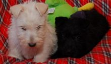 Adorable Cute Scottish terrier Puppies For Sale