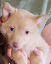 Beautiful registered Schipperke puppies For Sale available to go now