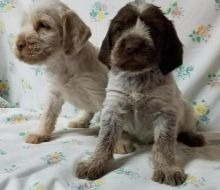 best looking, top quality Spinone Italiano puppies For Sale