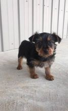 Family trained Silky Terrier puppies For Sale available now to go