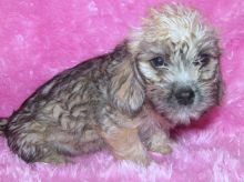 my adorable Dandie Dinmont Terrier Puppies For Sale