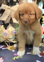 pre-spoiled, registered Nova Scotia Duck Tolling Retriever puppies For Sale