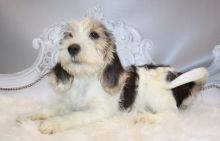 Quality, registered Petit Basset Griffon Vendeen puppies For Sale