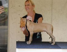 this angels are purebred Pharaoh Hound puppies For Sale