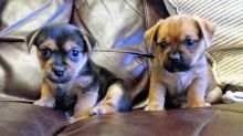 Two adorable Norfolk Terrier puppies For Sale