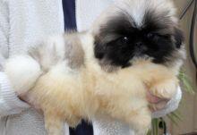 Purebred Pekingese Puppies For Sale male n female Image eClassifieds4U