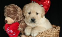 lovers of golden retriever Puppies, i have available ready