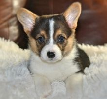 Very fluffy, big and chunky.Welsh Corgi Puppies For Sale
