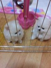 Cute and lovely white male and female Pomeranian puppies available