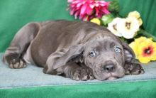 Male n female Cane Corso Puppies For Sale