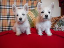 We have 2 West Highland White Terrier Puppies For Sale