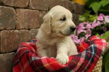 We have vet checked Golden Retriever Puppies For Sale