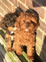 Beautiful Toy Poodle puppies Available