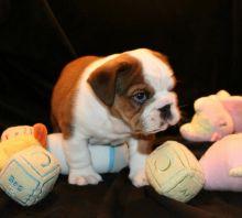English Bulldog puppies seeking a home, text:(365) 801-0230