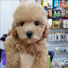 Toy Poodle Puppies Available Now For Adoption