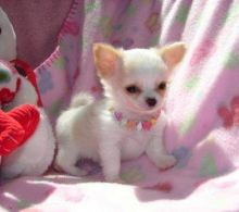 cute beautiful Chihuahua puppies for free