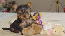 Extraordinary YORKIE PUPPIES need a home text :(819) 975-7983