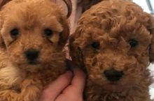 Male and female Toy Poodle Puppies Available