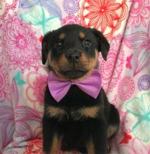 Two Rottweiler Puppies For Sale TEXT ONLY (317) 939 3419