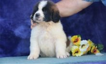 Perfect C KC registered Cute Saint Bernard Puppies For Sale TEXT ONLY (317) 939 3419