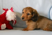 Perfect C KC registered Dachshund puppies For Sale TEXT ONLY (317) 939 3419