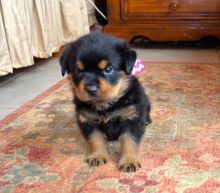 Perfect C KC registered Rottweiler Puppies For Sale TEXT ONLY (317) 939 3419