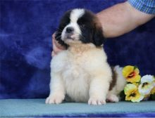 Perfect C KC registered Saint Bernard Puppies For Sale TEXT ONLY (317) 939 3419