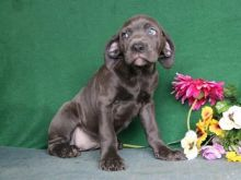 Pure Bred Cane Corso Puppies for sale TEXT ONLY (317) 939 3419
