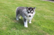Siberian Husky Puppies For Sale text (437) 370-5674
