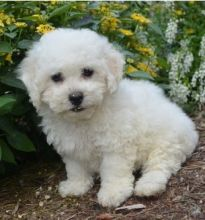 sweet, happy male n Female Bichon Frise for sale! TEXT ONLY (317) 939 3419