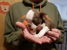 sweet, happy male n Female Boston Terrier for sale! TEXT ONLY (317) 939 3419