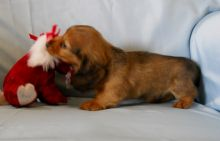 sweet, happy male n Female Dachshund puppies For Sale! TEXT ONLY (317) 939 3419