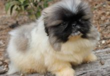 sweet, happy male n Female Pekingese Puppies For Sale TEXT ONLY (317) 939 3419