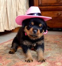 sweet, happy male n Female Rottweiler Puppies For Sale for sale! TEXT ONLY (317) 939 3419 Image eClassifieds4U