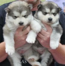 C.K.C Reg Male and Female Alaskan Malamute Puppies for Adoption