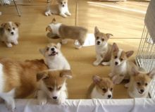 Gorgeous Pembroke Welsh Corgi puppies available FOR ADOPTION