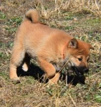 Healthy Pure Bred Male and Female Shiba Inu puppies to offer for Adoption.