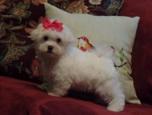 male and 1 females Maltese Puppies For Sale TEXT ONLY (317) 939 3419