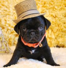 male and 1 females Pug Puppies For Sale TEXT ONLY (317) 939 3419