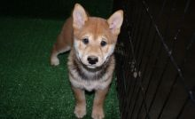 male and 1 females Shiba Inu Puppies For Sale TEXT ONLY (317) 939 3419