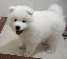Male and Female Samoyed Puppies Available