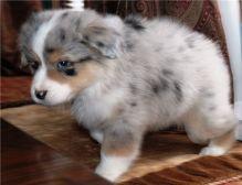 Pure Bred CKc Reg Australian Shepherd Puppies for Adoption ***