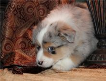 Pure Bred CKc Reg Australian Shepherd Puppies for Adoption ***