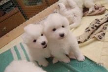 Male and Female Samoyed Puppies Available Image eClassifieds4u 2